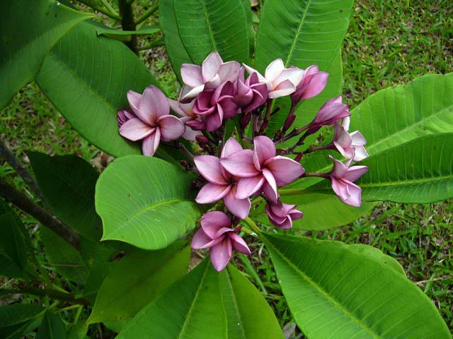 Jungle Jacks Thailand Plumerias